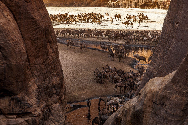 Carnet de voyage : Les chameaux de la Guelta d'Archeï au Tchad, Ennedi