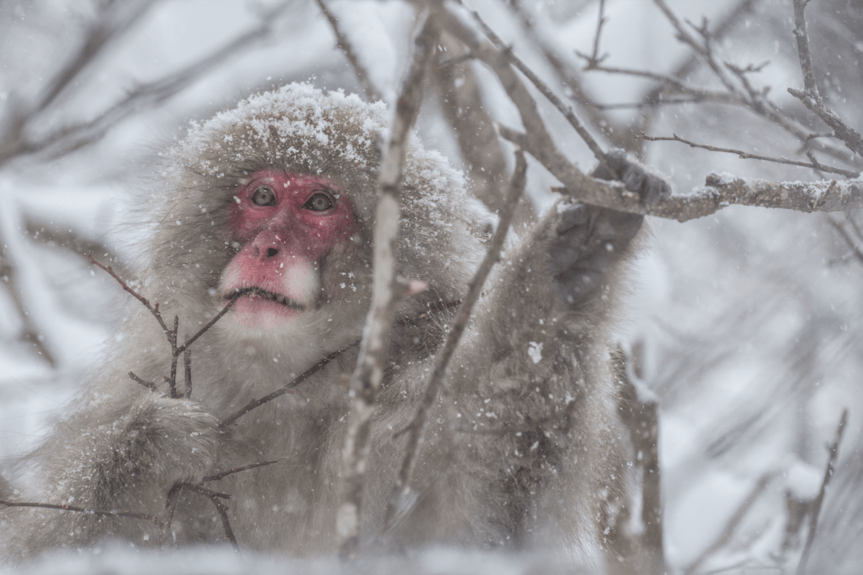 Des singes en hiver
