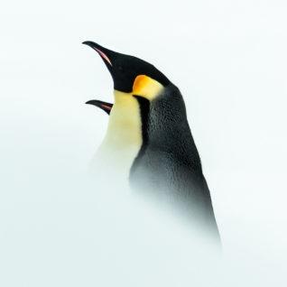 tirage d'art photo manchots Empereurs : rencontre nuptiale par Julien Vasseur, Terre-Adélie, Antarctique - Bouts du monde