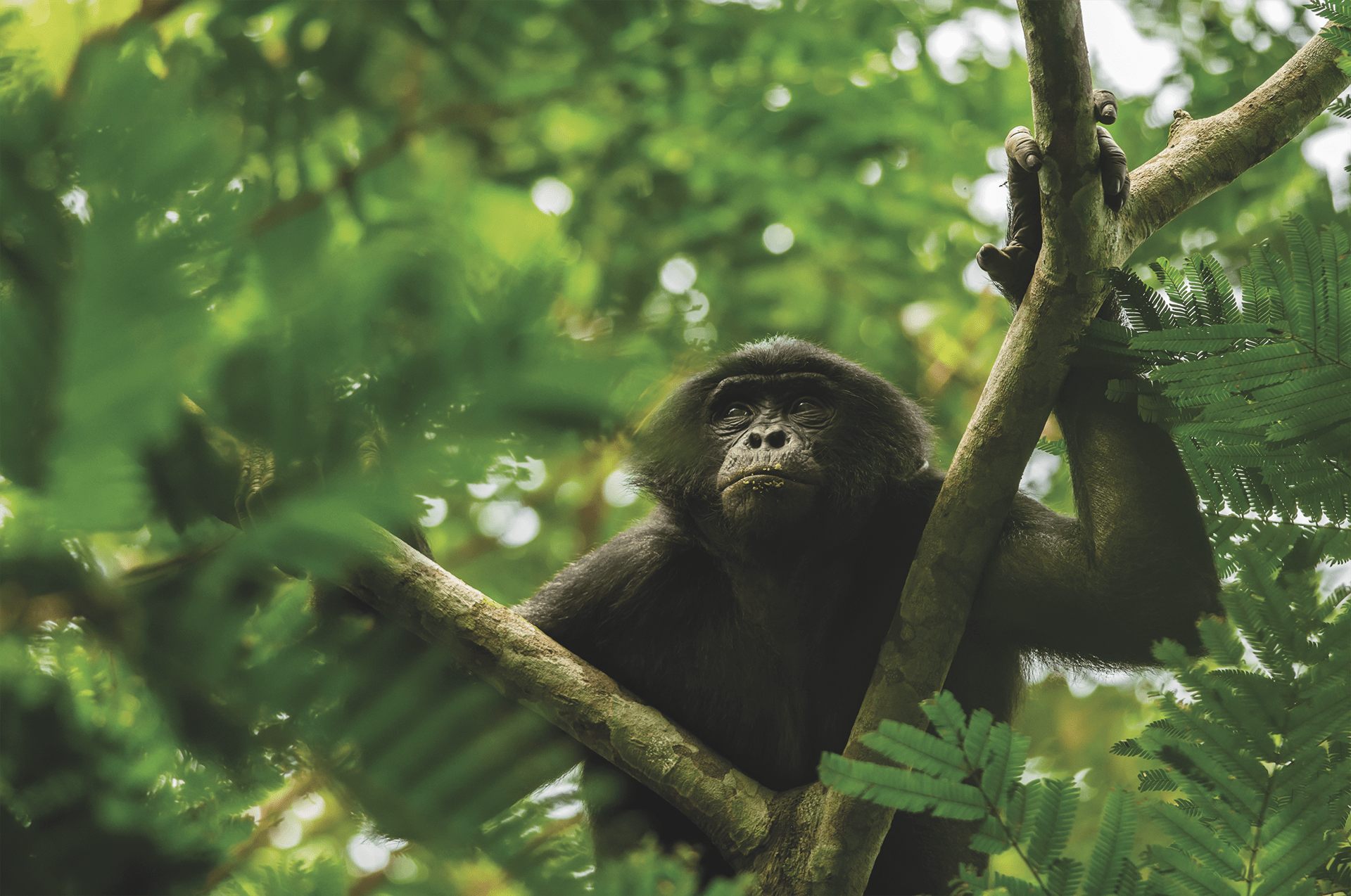 Clément Cornec - le sanctuaire des bonobos